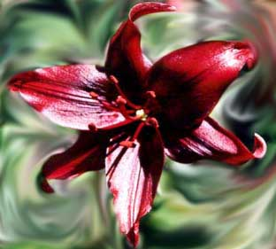 Lily 'Red Raven' - copyright �98 by Hallie du Preez, all rights reserved